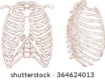 rib cage brown and white... | Shutterstock .eps vector #364624013