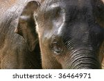 head of a young wet elephant(elephas maximus) getting a shower - stock photo