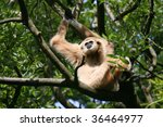spider monkey (Ateles fusciceps) sitting in a tree in a zoo in Holland - stock photo