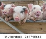 Three Little Pigs Looking Over...