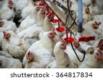 Sick Chicken Or Sad Chicken In...