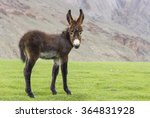 Baby Donkey In The Zanskar...