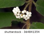 Narrowleaf Beauty Berry's Whit...
