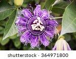 Macro Photo Of Passiflora...
