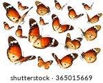 Stock photo butterflies migrating flight butterflies of danaus chrysippus plain tiger or african monarch 365015669