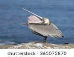 Brown Pelican   Californian Race