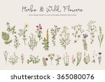 herbs and wild flowers. botany. ... | Shutterstock .eps vector #365080076