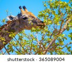Giraffe Eating Leafs From The...
