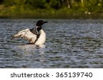 A Loon Drying Its Wings On A...