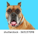 boxer dog on blue background | Shutterstock . vector #365157098