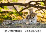 mother cheetah and her cub in... | Shutterstock . vector #365257364