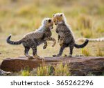 Cheetah cubs play with each other in the savannah. Kenya. Tanzania. Africa. National Park. Serengeti. Maasai Mara. An excellent illustration.