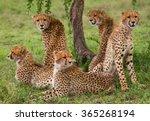 five cheetahs in the savannah....   Shutterstock . vector #365268194