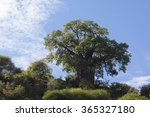 Small photo of Baobab tree (Adansonia digitate) in Africa