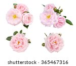 Pale Pink Roses And Buds Set...