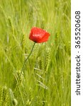 Single Red Corn Poppy In Green...