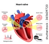 heart valve surgery. pulmonary  ... | Shutterstock .eps vector #365609720