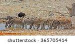 herd of zebra drinking at a... | Shutterstock . vector #365705414