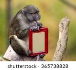 Small photo of Allen's swamp monkey sitting and licking his toy mirror.