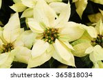 White Poinsettia Flowers ...