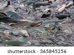 Pink Salmon Crowded In Alaska