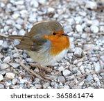 Robin Bird Wild Bird
