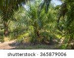 oil palm plantation for...   Shutterstock . vector #365879006