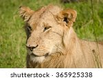 lioness in masai mara  kenya   Shutterstock . vector #365925338