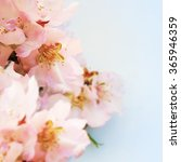 almond blossoms over blurred... | Shutterstock . vector #365946359