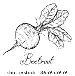 beetroot with leaves  vintage... | Shutterstock .eps vector #365955959