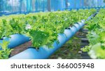 organic hydroponic vegetable... | Shutterstock . vector #366005948