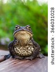 common toad sitting on wooden... | Shutterstock . vector #366031028