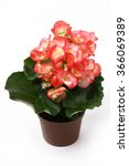 Pink Begonia Flower In Flower...