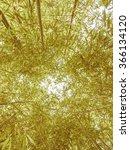Small photo of Vintage looking Bamboo plants forest aka Plantae Angiosperms Monocots Commelinids Poales Poaceae Bambusoideae