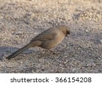 Small photo of Abert's Towhee