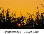 Grass Against The Sky At Sunset