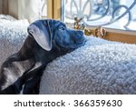 Cane Corso Dog Looking Outside...