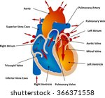vessels and blood circulation | Shutterstock .eps vector #366371558