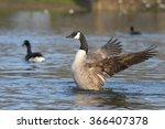 canada goose  branta canadensis   Shutterstock . vector #366407378