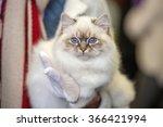 birmania cat close up portrait... | Shutterstock . vector #366421994
