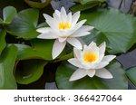 European White Waterlily With...