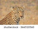 Portrait Of A Leopard  Panther...