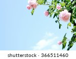 Stock photo pink roses under blue sky 366511460