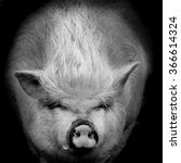 Portrait Of A Pig Against In...