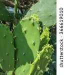 Small photo of Cactus (Angiosperms Eudicots Caryophyllales Cactaceae) plant