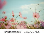 cosmos flower blossom in garden | Shutterstock . vector #366772766