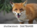 Portrait Of Red Fox In The Wild