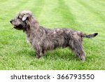 Typical Imaal Terrier On A...