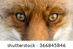 Eyes Of The Red European Fox