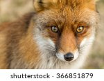 The Eyes Of A Red European Fox